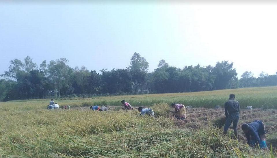 পীরগঞ্জে আমনের বাম্পার ফলন কৃষকের মুখে হাসি