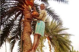 পটুয়াখালী থেকে দিন দিন হারিয়ে যাচ্ছে খেজুর গাছ