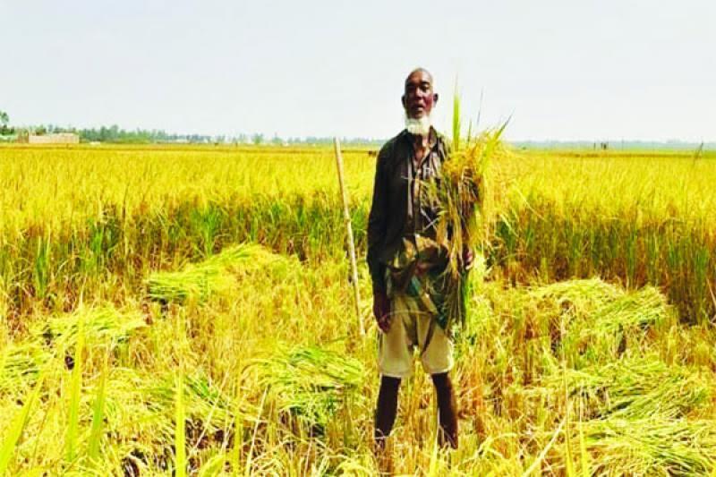 কক্সবাজারে বোরোর বাম্পার ফলন : কৃষকের মুখে হাসি